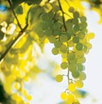 green-grapes-on-vine